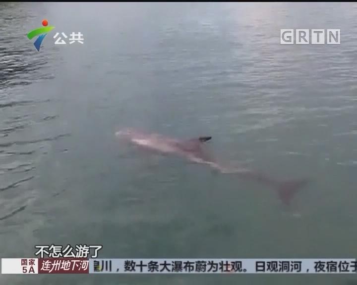 惠州:海豚现身港口 潜水员施援