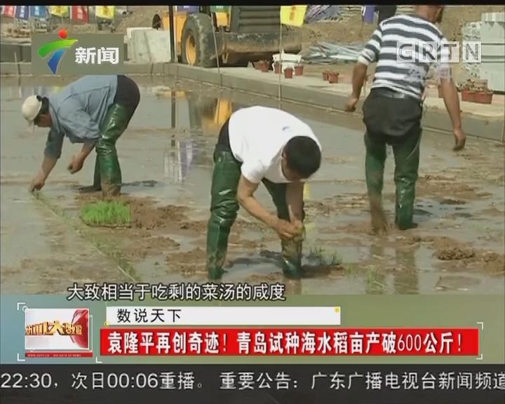 袁隆平再创奇迹! 青岛试种海水稻亩产破600公斤!