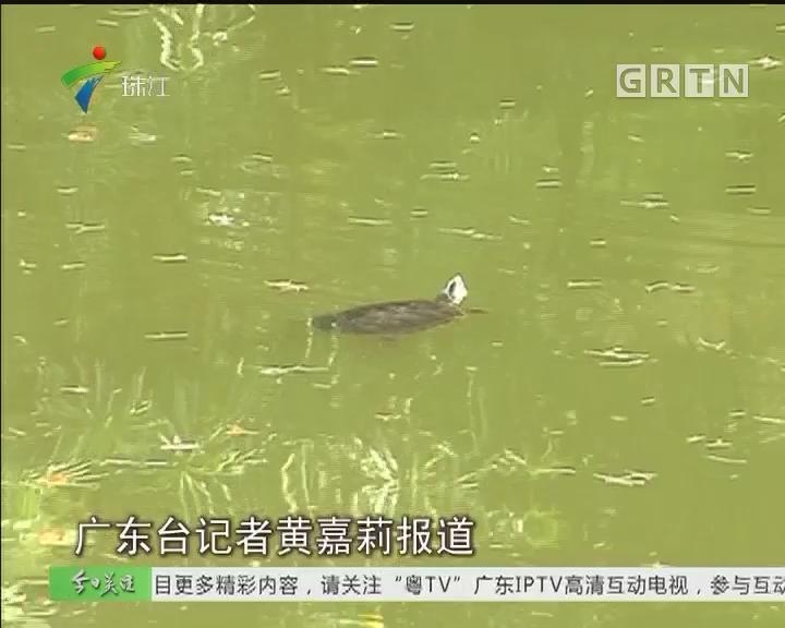 """广州:公园水池现""""怪鱼"""" 疑是放生惹的祸"""