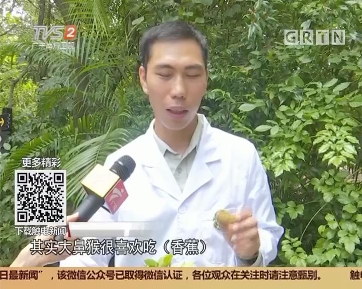 广州番禺:中国首次引进大鼻猴