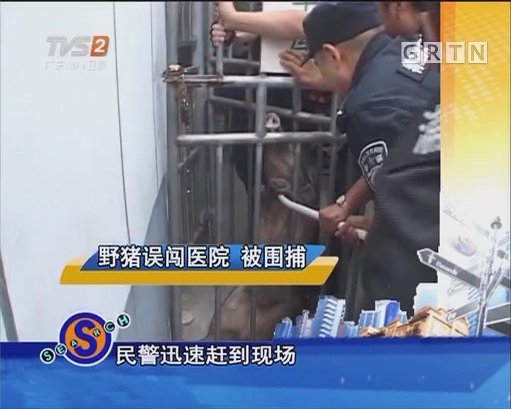 野猪误闯医院 被围捕