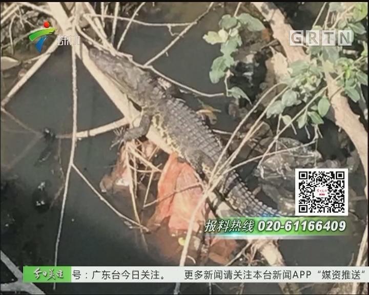南海:河涌现鳄鱼 渔政提醒市民不要捕捉