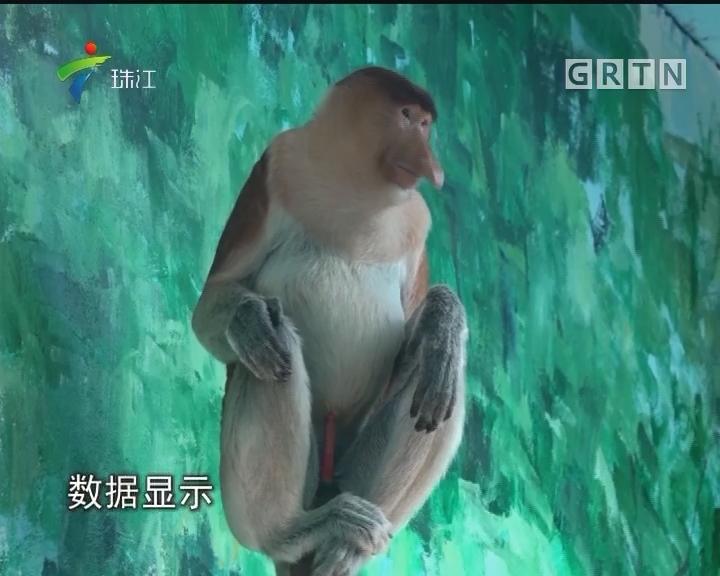 """比大熊猫还稀有! """"大鼻猴""""在广州安家"""