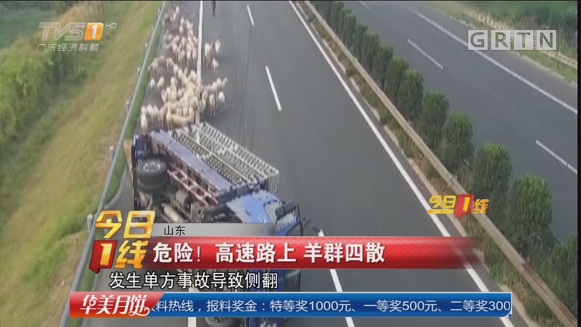 山东:危险!高速路上 羊群四散