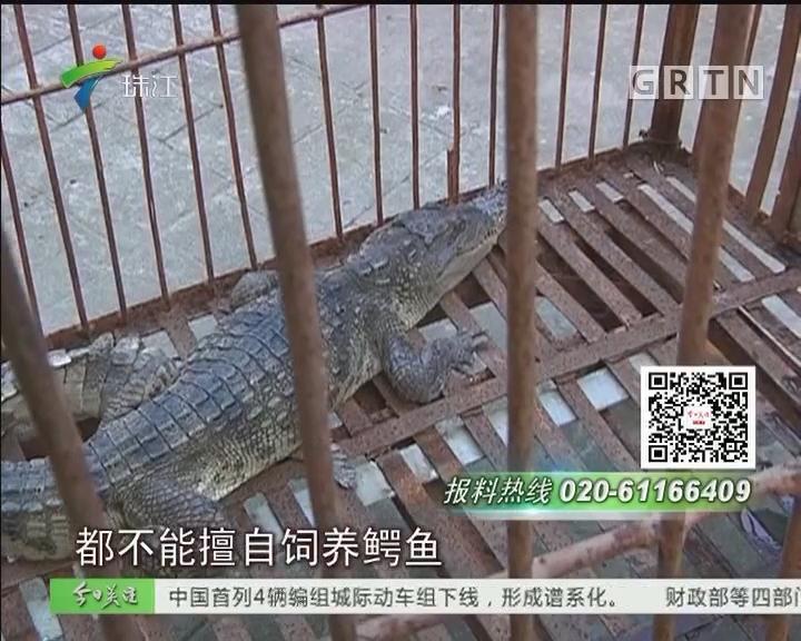 汕头:鳄鱼惊现排灌渠 众人合力终捕获