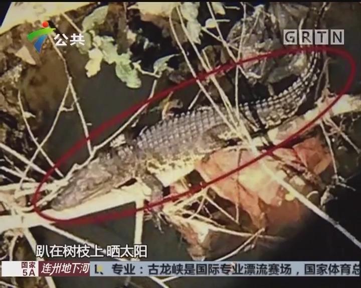 佛山:河涌有鳄鱼出没 已被渔政捕获