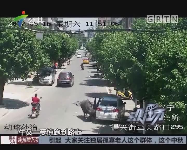 梅州:大水牛城区乱窜 撞伤行人被击毙