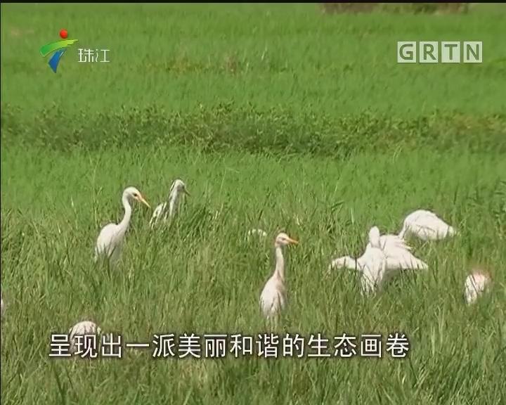 湛江:村民护候鸟 吴阳白鹭飞
