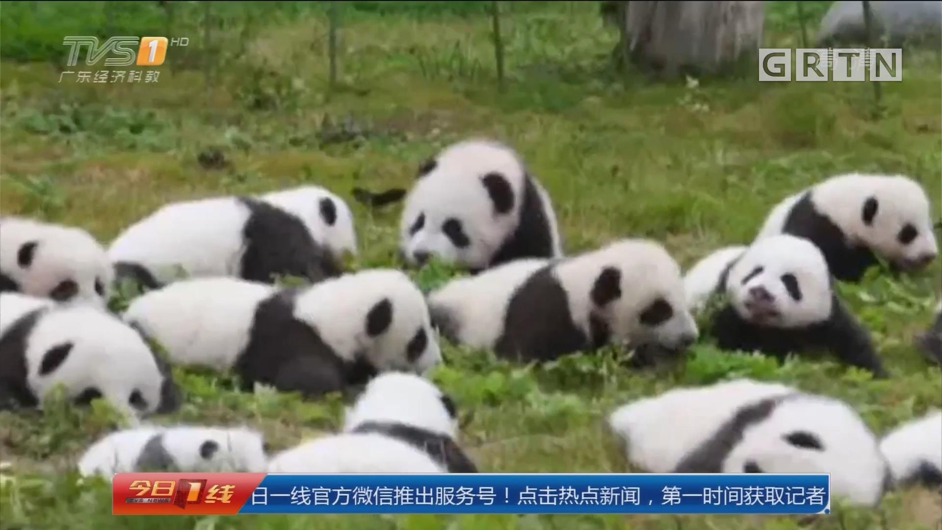 四川:36只熊猫宝宝集体亮相 萌化了!