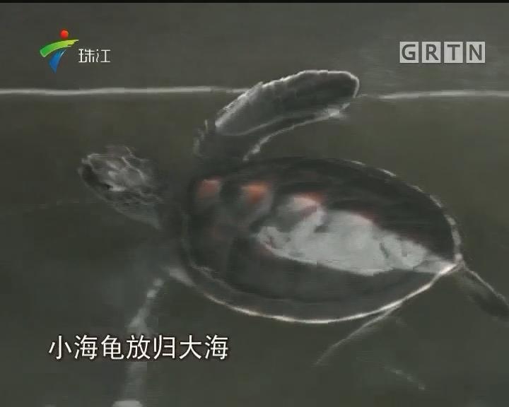 广东攻破海龟人工繁殖技术 全国首窝成功孵化放归大海