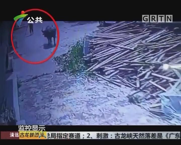 江门:水牛四处狂奔伤人 特警将其击毙