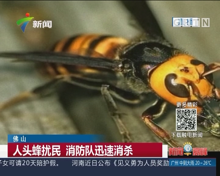 佛山:人头蜂扰民 消防队迅速消杀