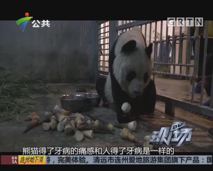 大熊猫瘦成皮包骨 园方称牙髓炎影响进食所致