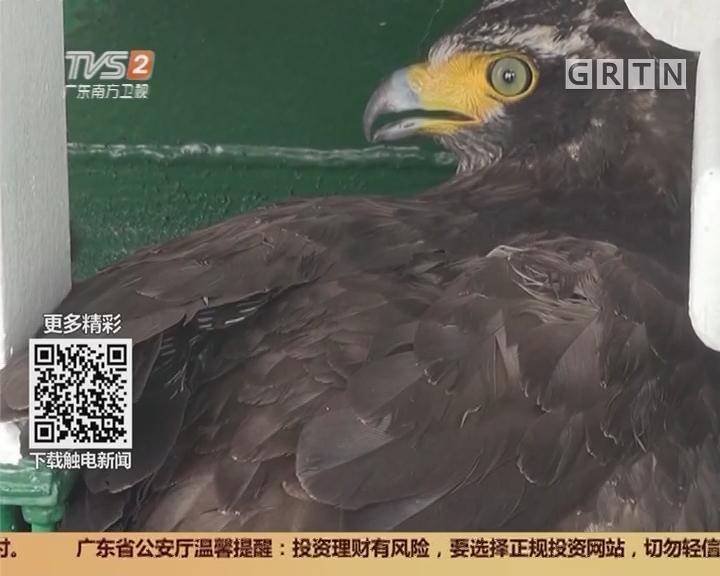 """湛江:蛇雕""""空降"""" 海警官兵悉心照料"""