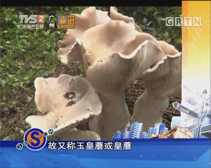 巨型野生菌 高1米重100斤
