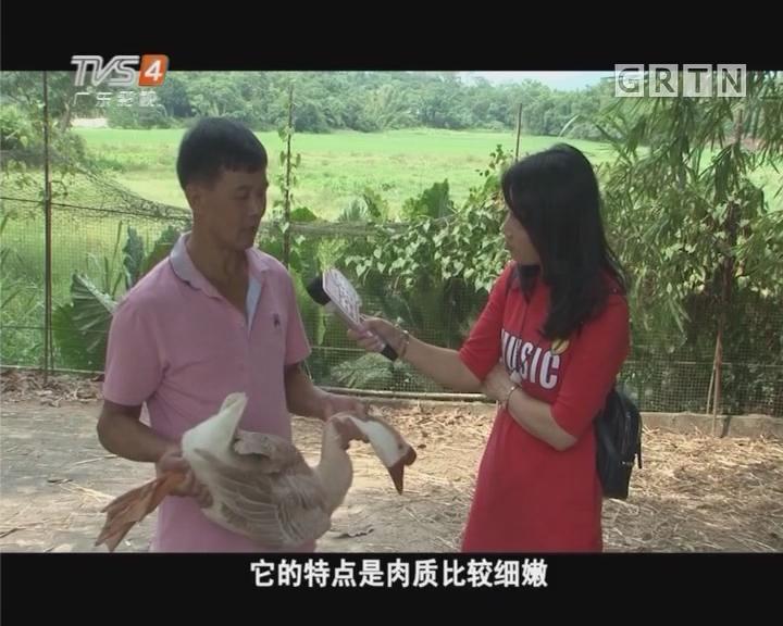 寻找阳江最有名的鹅种黄鬃鹅