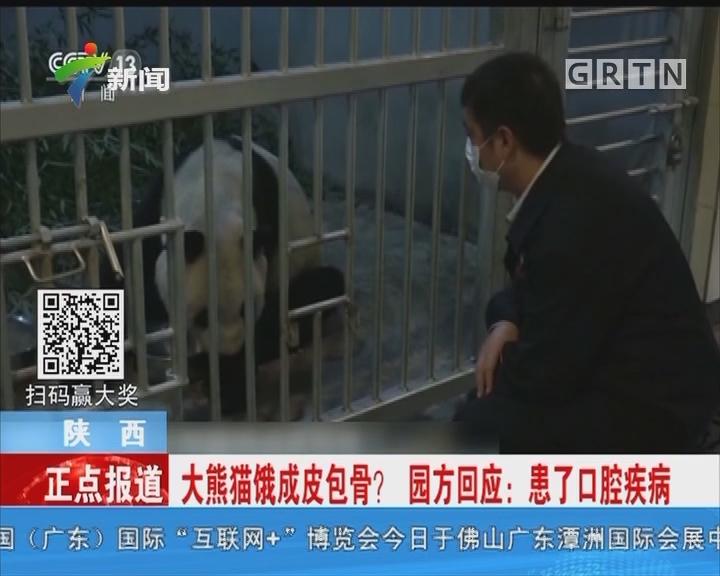 陕西:大熊猫饿成皮包骨?园方回应:患了口腔疾病