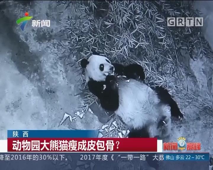 陕西:动物园大熊猫瘦成皮包骨?