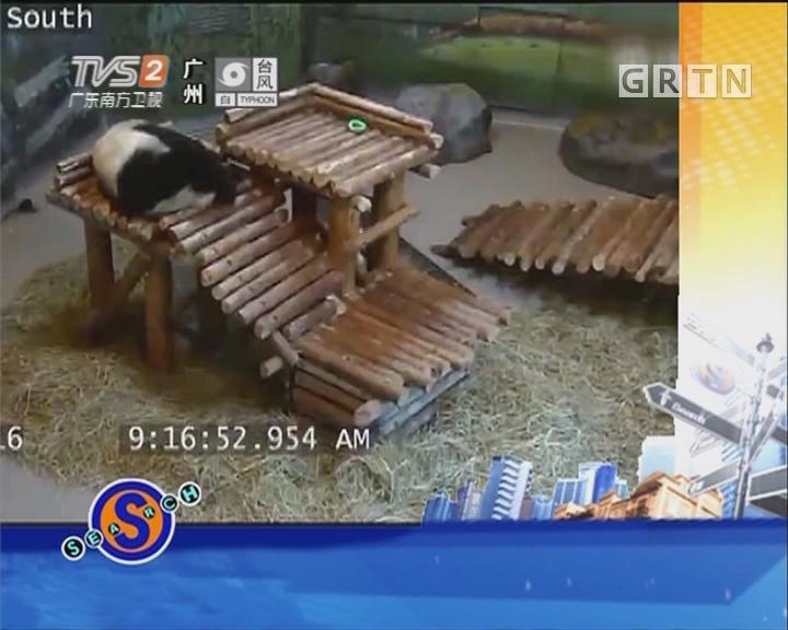 熊猫宝宝花式跌倒 萌翻大众