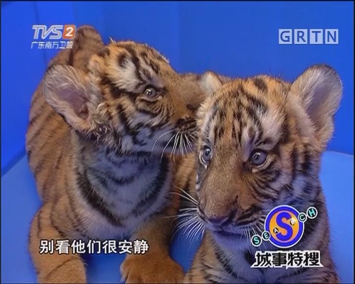 动物园喜诞华南虎双胞胎