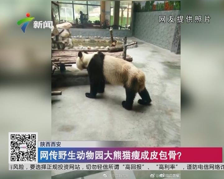 陕西西安:网传野生动物园大熊猫瘦成皮包骨?
