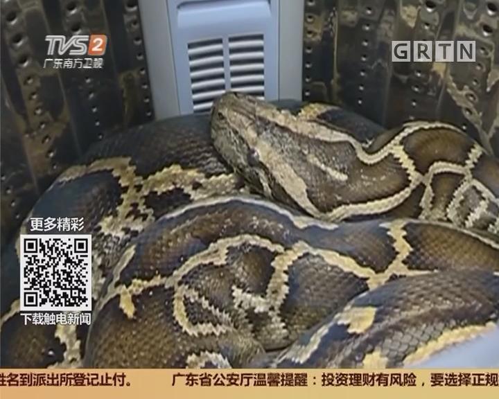 潮州潮安区:惊!洗衣机内竟有条52斤大蟒蛇
