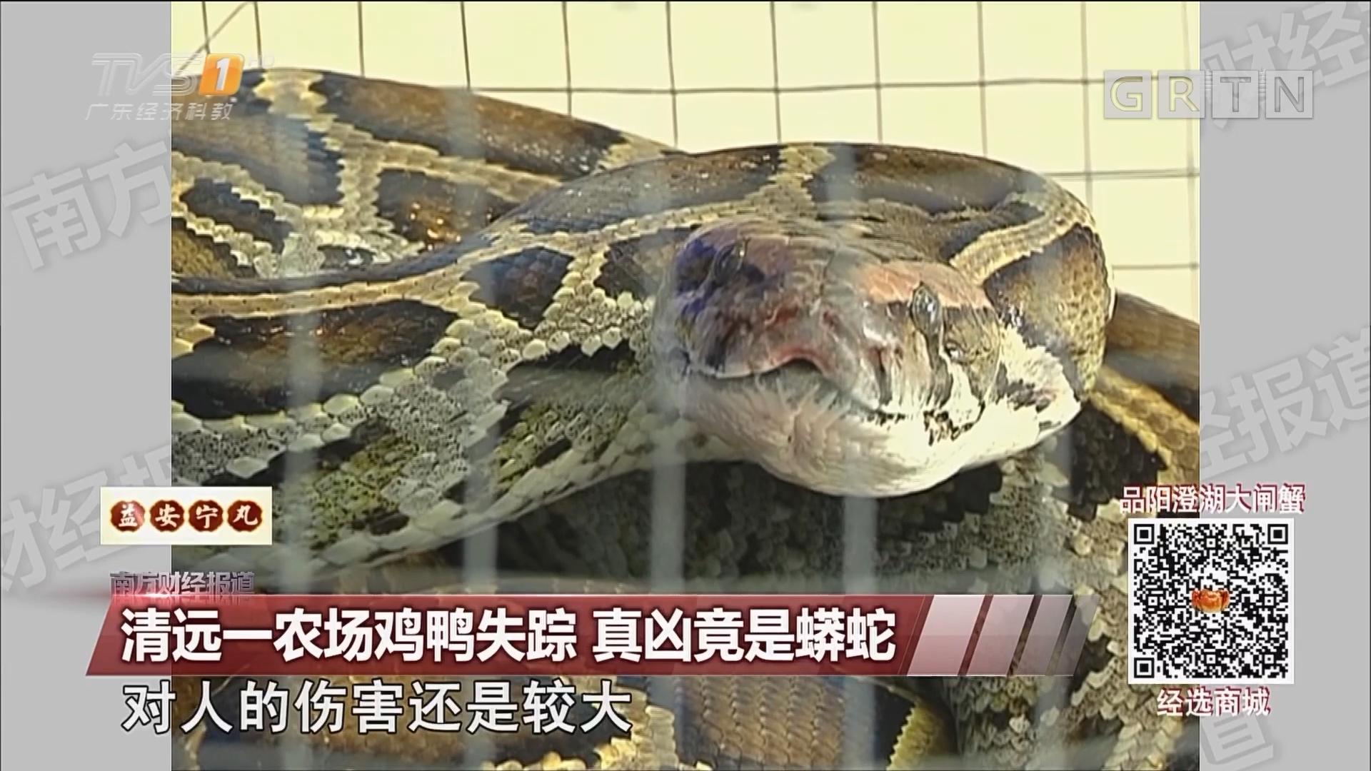 清远一农场鸡鸭失踪 真凶竟是蟒蛇