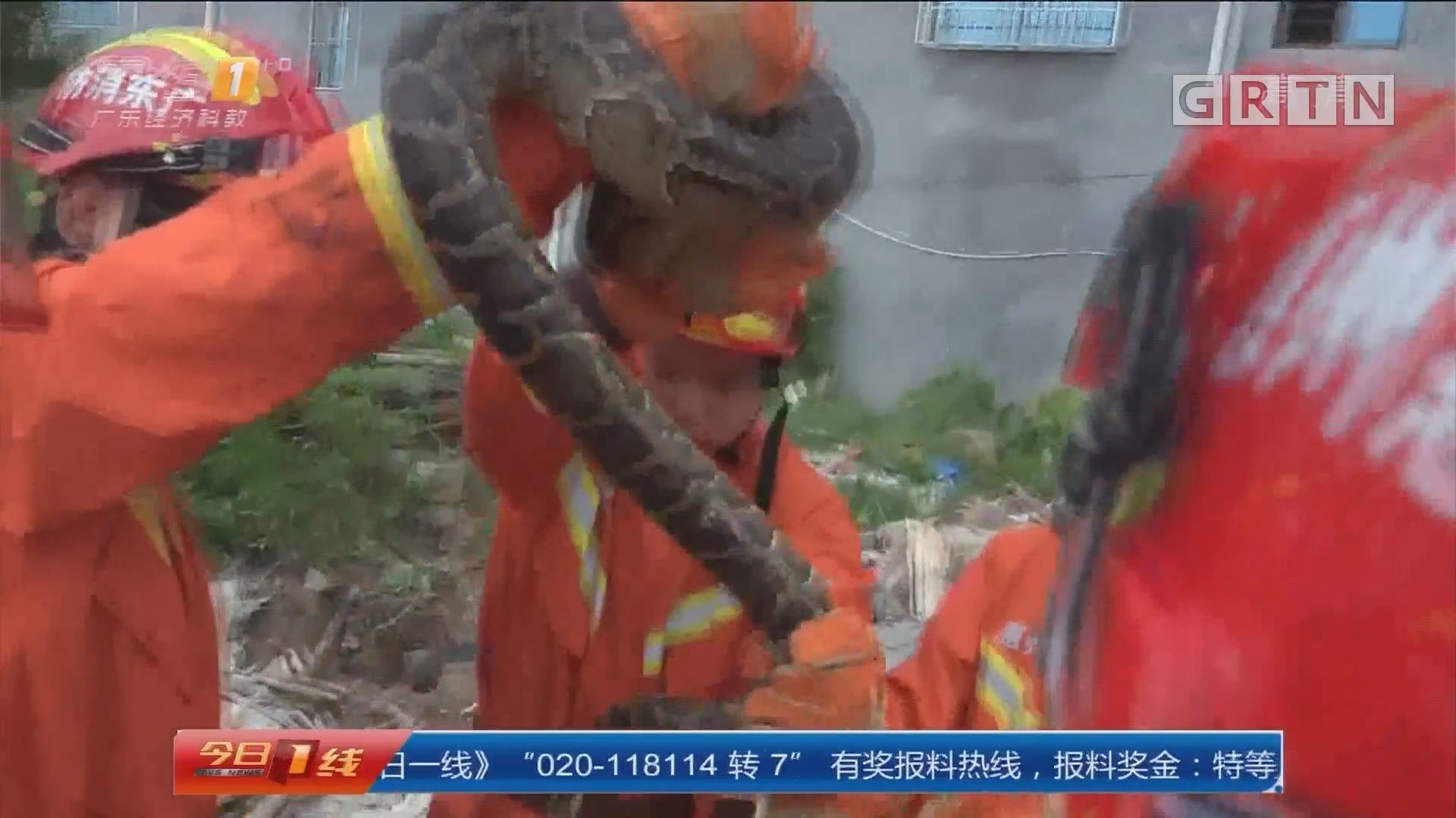 惠州吉隆镇:幼儿园旁惊现巨蟒 消防官兵抓捕放生