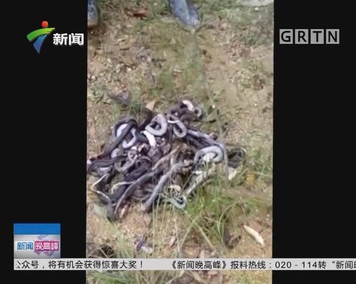 蛇出没:村庄现大量毒蛇 村民出门带棍防身