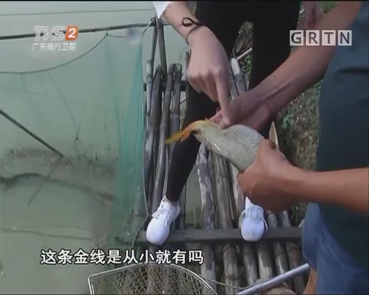 抓捕生猛文庆鲤