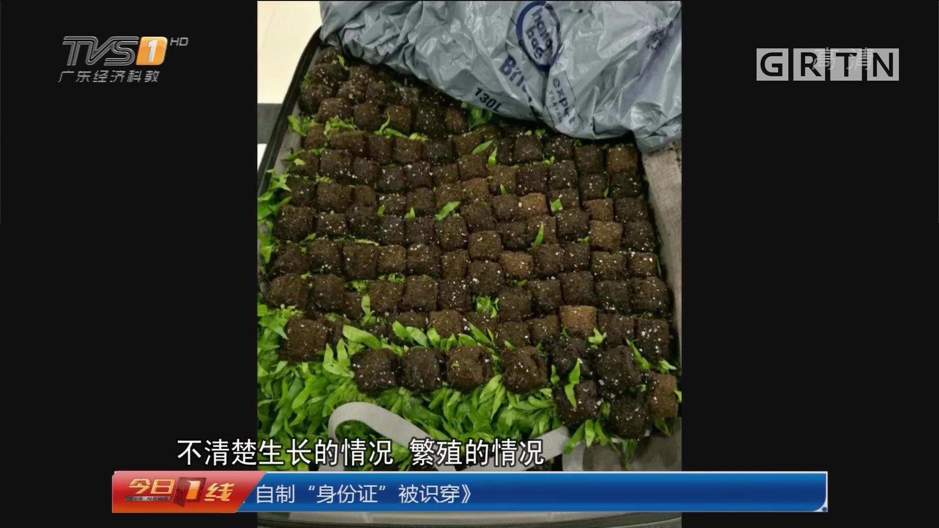 """珠海:带箱""""土""""过关 200株蕨类幼苗被截获"""