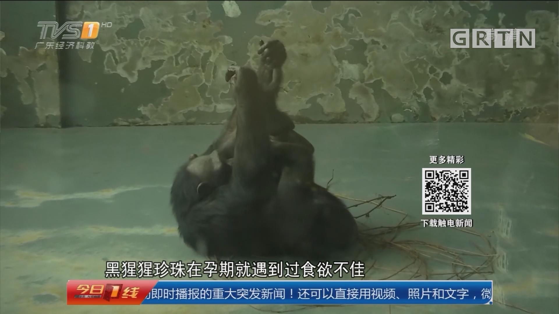 无锡:珍稀黑猩猩生娃 监控记录分娩过程