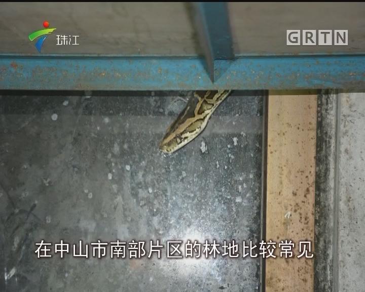 中山:2米蟒蛇潜入室 竟是国家一级保护动物