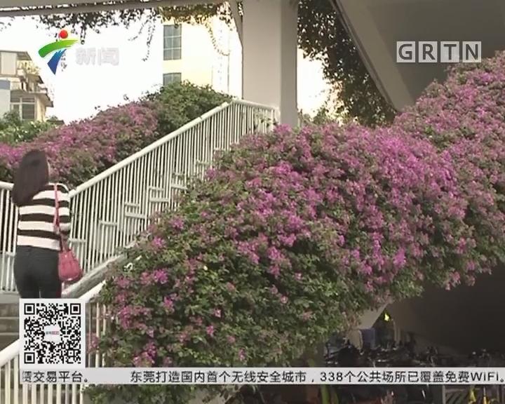 广州最美花景:人行天桥勒杜鹃争相绽放
