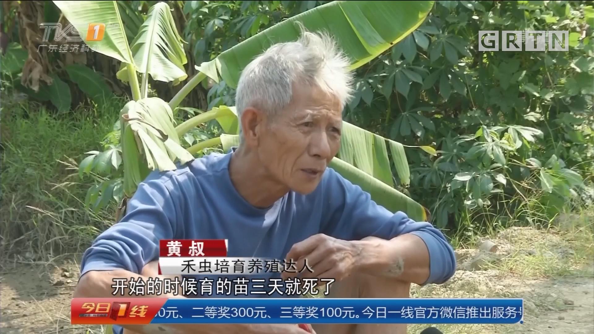 东莞麻涌:与禾虫结缘15年 坚持野生养殖致富