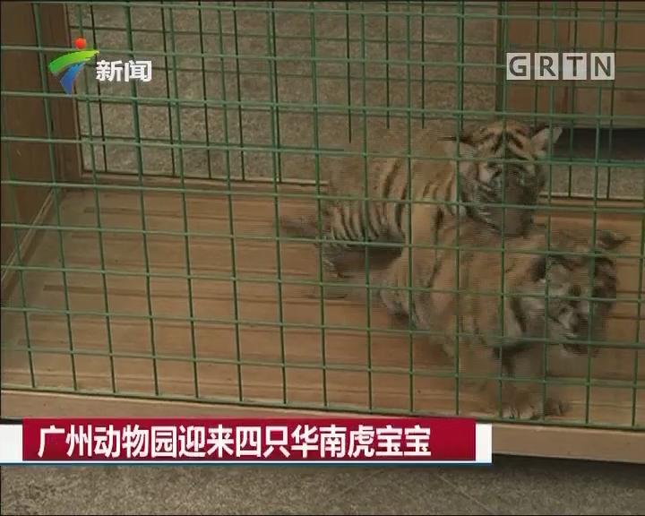 广州动物园迎来四只华南虎宝宝