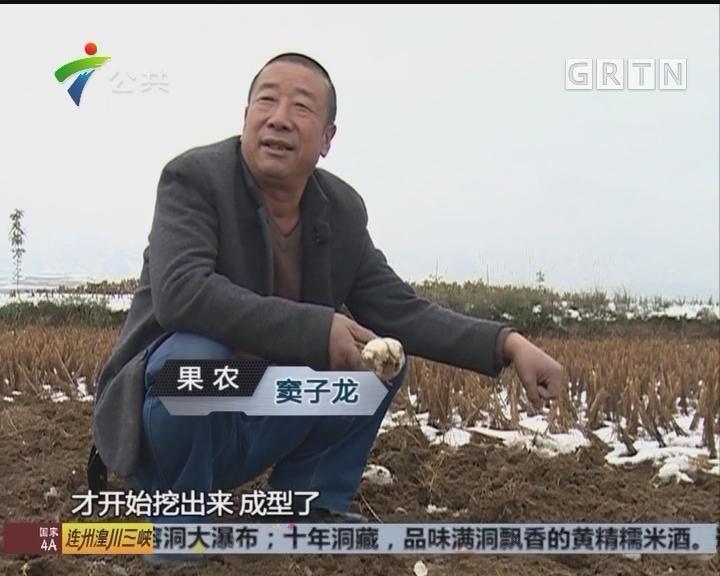 果农用一生钻研百合 九年生长周期不马虎