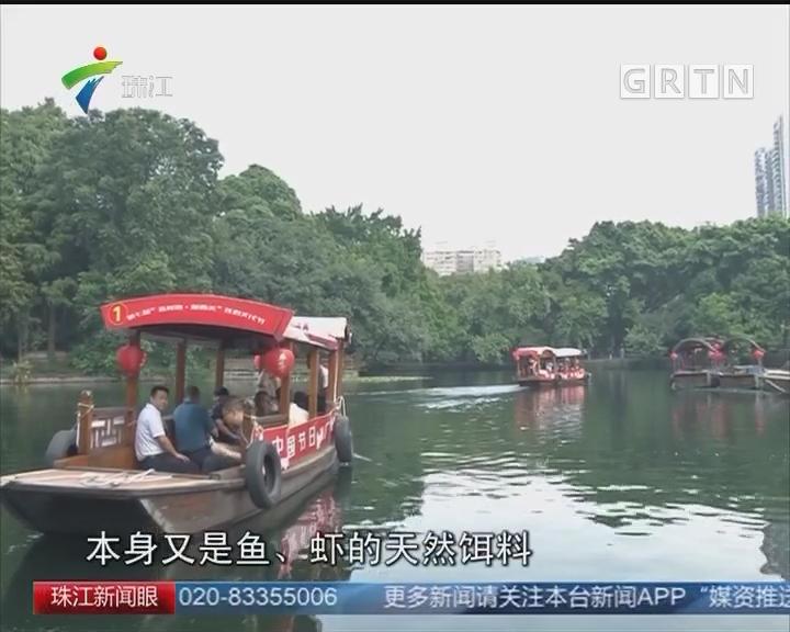 广州荔湾湖投入食藻虫进行水下生态修复