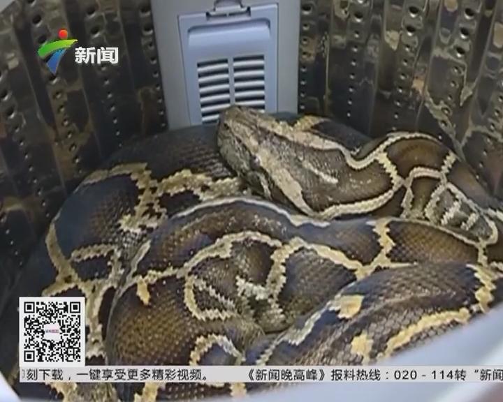 潮州潮安区:惊!洗衣机内竟藏52斤大蟒蛇