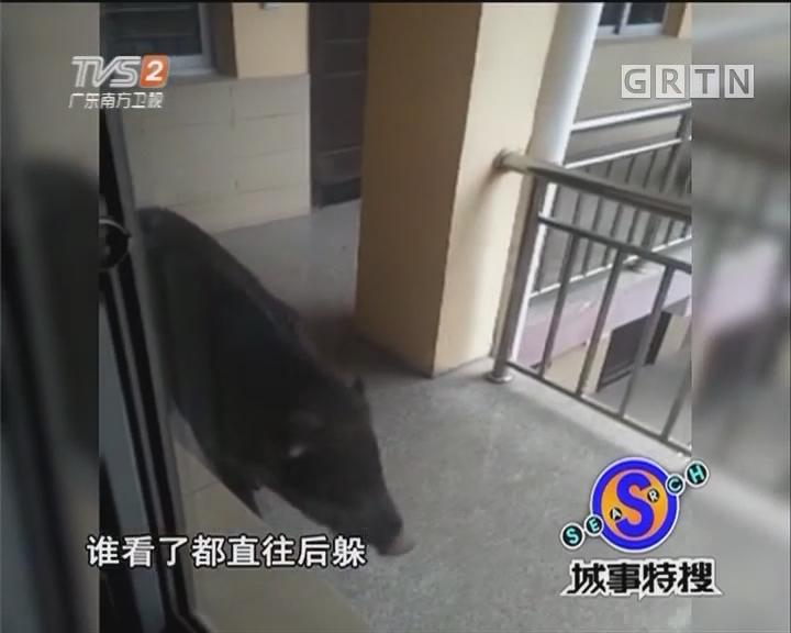 野猪进城逛 伤人被击毙