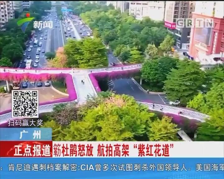"""广州:勒杜鹃怒放 航拍高架""""紫红花道"""""""