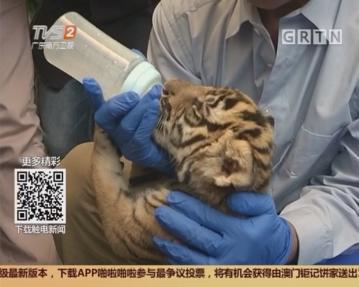 广州动物园:两月内喜添四只华南虎宝宝 罕见!