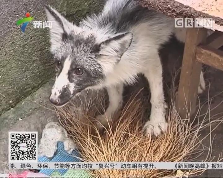 湖北:狐狸闯进居民区 养不养都是困扰