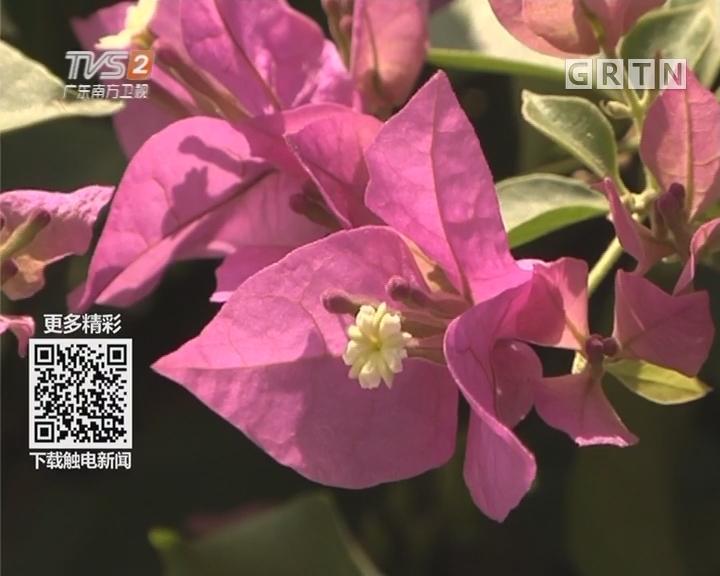 """广州最美花景:勒杜鹃""""花带""""串联羊城"""
