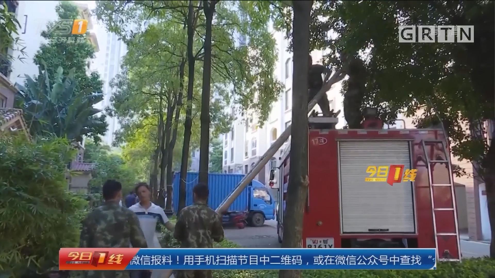 东莞樟木头:小区蜂窝成群结对 消防出动除隐患