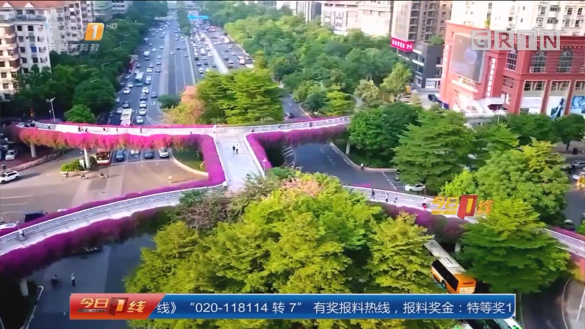 """广州:簕杜鹃怒放 航拍高架""""紫红花道"""""""