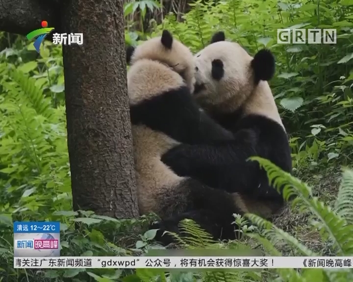 """全球第二次同时放归两只大熊猫 成都:""""映雪""""""""八喜""""正式体验放归!"""