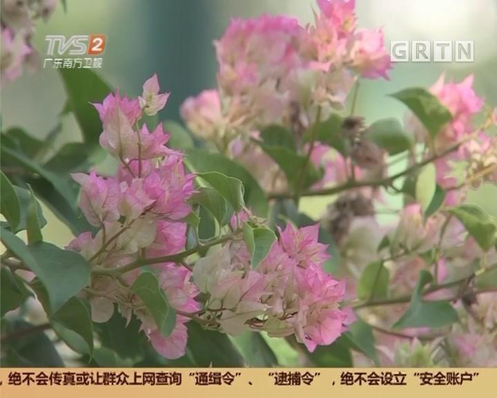 广州:簕杜鹃花展 五颜六色簕杜鹃争相绽放 引人入胜