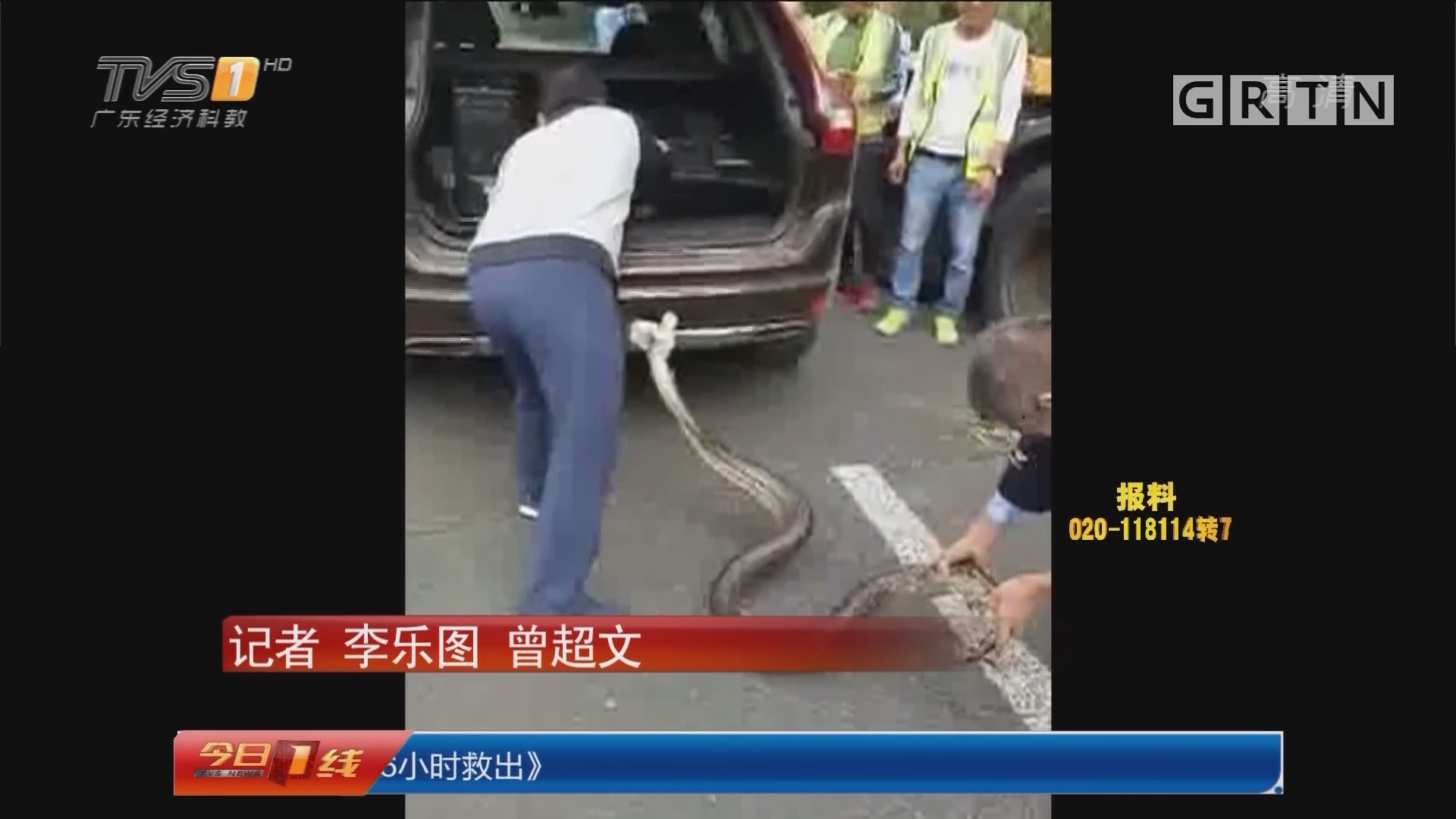 深圳南山:蟒蛇出洞晒太阳 警民合力抓捕