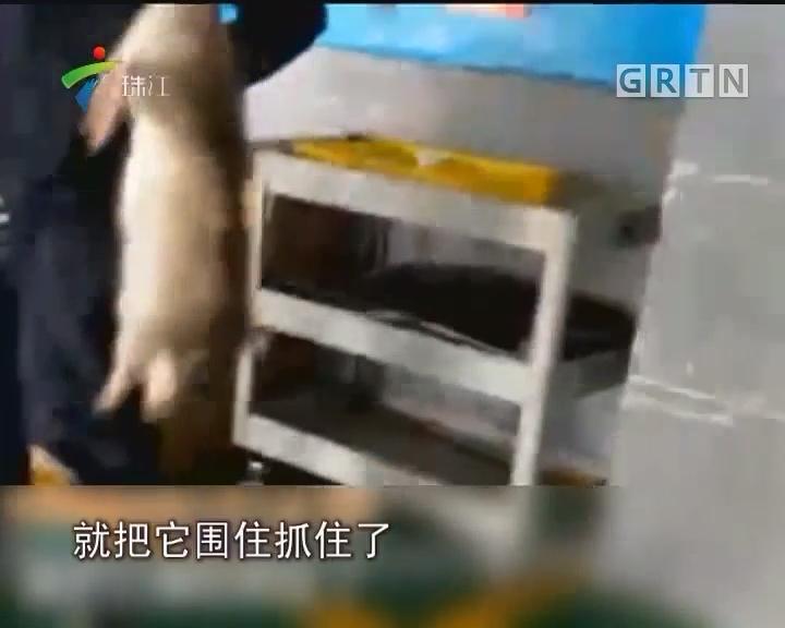 豪车被大卸八块还贴四万元 全因要找老鼠